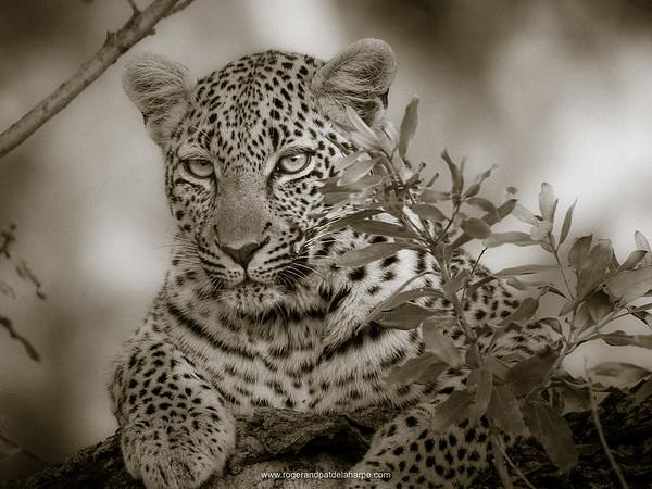 Leopard (Panthera pardus) female. Kruger National Park. Mpumalanga. South Africa.