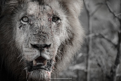 Lion (Panthera leo).  Kruger National Park. Mpumalanga. South Africa.