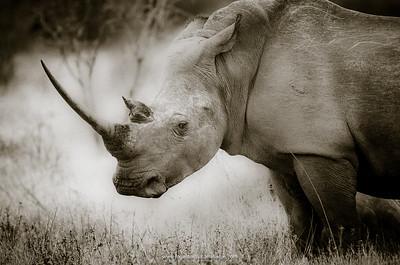 White rhinoceros (rhino) or square-lipped rhinoceros (Ceratotherium simum). Phinda / Munyawana / Zuka Game Reserve.  KwaZulu Natal. South Africa