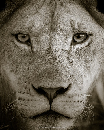 Masai Lion Close-up