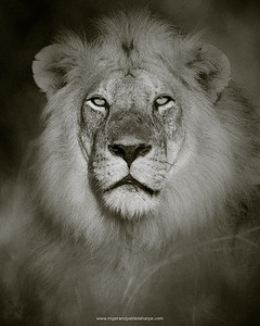 East African Lion, Tanzania