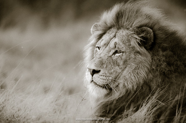 Pinda Game Reserve Lion Portrait