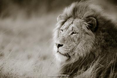 Pinda Game Reserve Lion Portrait