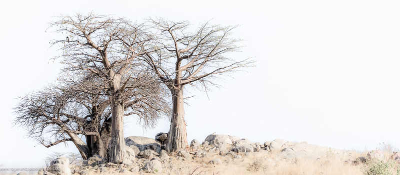 Ruaha Upside-Down Tree Print