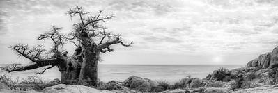 Stunted baobab, dead-rat tree (from the appearance of the fruits), monkey-bread tree  upside-down tree or cream of tartar tree (Adansonia digitata). Lekhubu (Kubu) Island. Sowa Pan. Makgadikgadi Pans.  Botswana