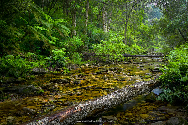 Forest interior near Knysna. Garden Route. Western Cape, South Africa.