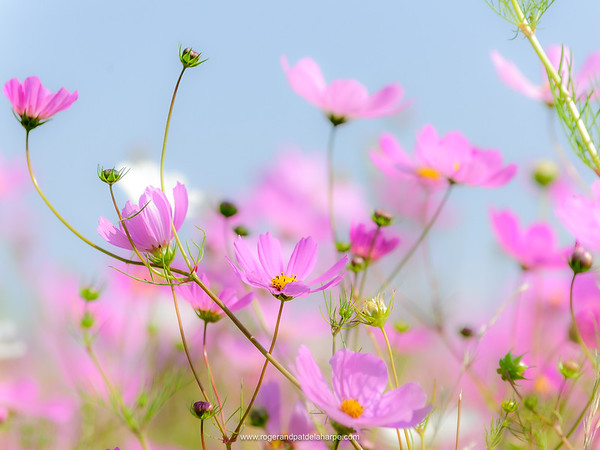 Cosmos Flowers Art Print