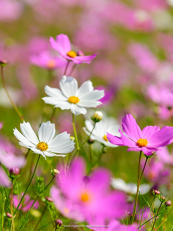 Image Number 416747. Pink and White Cosmos Flowers Print