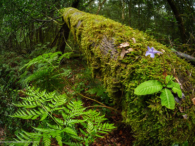 Forest scene. Wild gloxinia or twin sisters (Streptocarpus rexii). Garden Route. Western Cape. South Africa