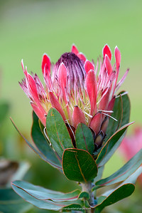 Protea 'Sylvia' hybrid. Kirstenbosch Gardens. Cape Town. Western Cape. South Africa