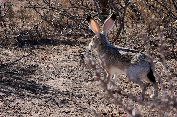 Black Eared Jackrabbit  Sat Jan 9 2010