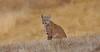 Distinguished Bobcat