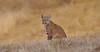 DSC_0163 The Bobcat