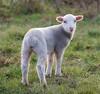 DSC_4460 The Lamb