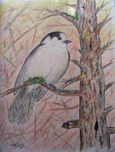 Gray Jay, 8x11 color pencil, feb 22, 2014