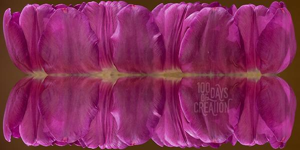 "Day 67 - Tuliporama ~ Reverse panorama, mirrored photograph, 32""x16"""