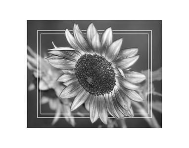 Black and White Sunflower 2018 edit b 11x14