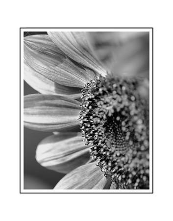 Yard Sunflower  B and W 2019 11x14 print