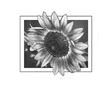 Black and White Sunflower 2018 edit c 11x14