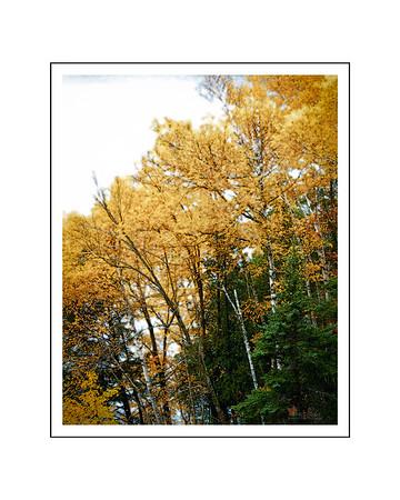 Fall yellow trees  16x20
