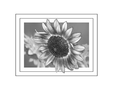 Black and White Sunflower 2018 edit c 16x20