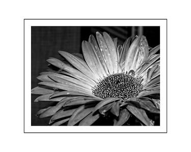 Summer black and whaite flower 2 16x20