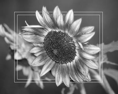 Black and White Sunflower 2018 edit b 16x20