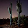 Saguaro's. Arizona, 2010.