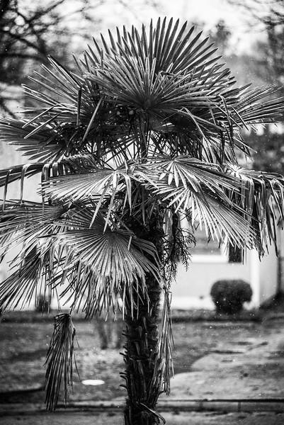 Snow on Palm