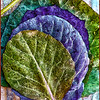 Cabbage Leaves 2 pp