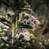 Hoarfrost Rosemary