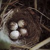 Junco's Nest
