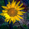 Sunflower Green house 7 2019