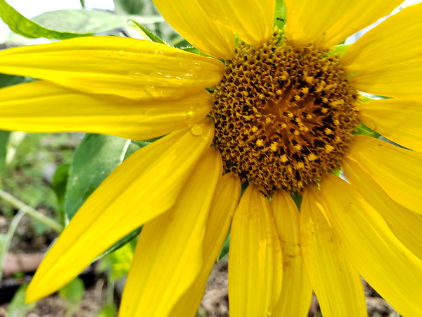 Another Sunflower in the Green house