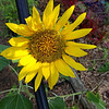 Sunflower in the Green House 7 2019