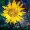Sunflower Greenhouse 7 2019 pp
