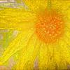 Sunflower 7 2019 pp