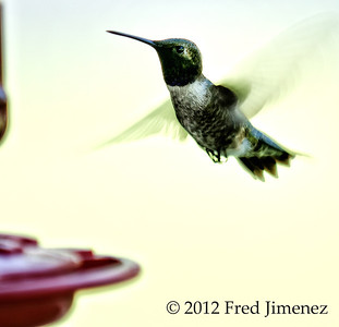 Day 2.  Hummingbirds are super hard to photograph!!