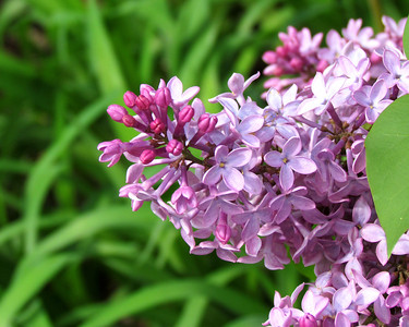 17-LilacsPrint_0624