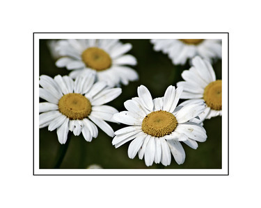 White Flower 2018 edit 2  8x10