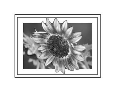 Black and white Sunflower 2018 edit c 8x10