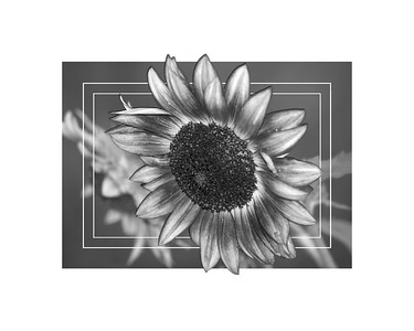 BW Sunflower 2019 edit