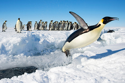 An emperor penguin jumping out of the water.