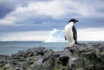 Adelie penguin, Antarctica.