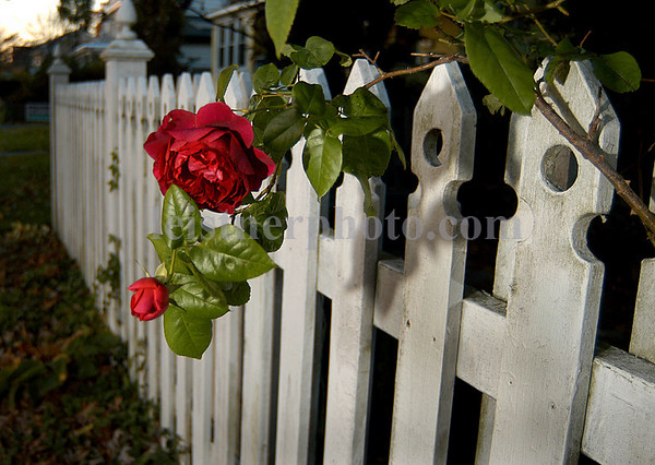 Last roses blooming in November on Marion Street in Lynbrook, NY.