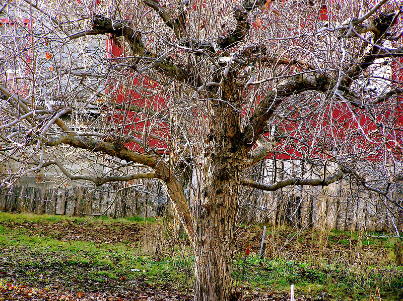 "My Cherry Tree. ""Homage to Piet Mondrian""  (See: Sandro Bocola's:<br /> The Art of Modernism, Prestel, 2000, pp. 195-200, especially pp. 194-196).<br /> The Old Cherry Tree behind my home in Dayton, Montana. 1/15/2006.  Compare:<br /> Piet Mondrian: Evolution, 1910-1911, triptych; Tree II (or Study for the<br /> Gray Tree); The Gray Tree, 1911; Flowering Appletree, 1911. All in Haags<br /> Gemeentemuseum, Den Haag"