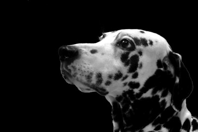 Zorro. The Andalusian Dalmatian.