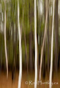 Streaky trees abstract. Mackenzie King Estate, Gatineau Park.