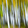 Abstract Aspen Tree Swipe. Utah backcountry.