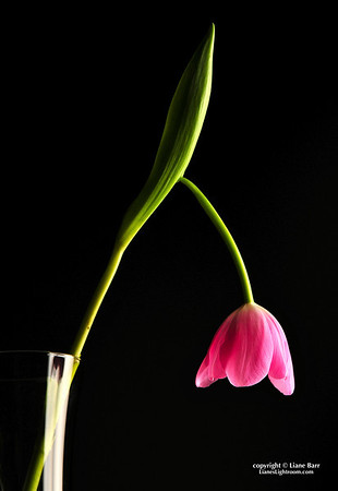 Moody Tulip.  (Still life photography)